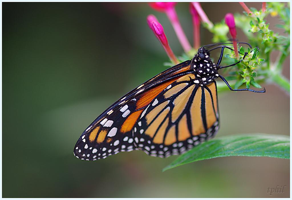 La serre aux papillons la queue en yvelines - Page 3 IMGP0631R